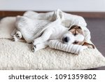 Stock photo sleeping puppy on dog bed dog jackrussell at home 1091359802