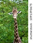 portrait of a giraffe in the...   Shutterstock . vector #1091393675