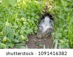 Stock photo a gray rabbit hides in the rabbit hole 1091416382