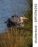 Small photo of Heron shuffling feathers