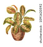 watercolor arrowroot in a pot... | Shutterstock . vector #1091620592