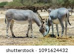 somali wild donkey  equus... | Shutterstock . vector #1091624432