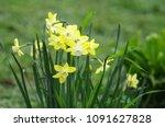 Yellow Daffodils In Spring...