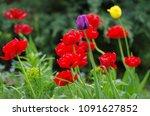 tulips in spring garden | Shutterstock . vector #1091627852