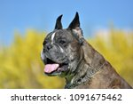 german boxer with cropped ears... | Shutterstock . vector #1091675462