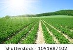 field of potato crops in a row... | Shutterstock . vector #1091687102