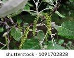 aspen tree blooming twig with... | Shutterstock . vector #1091702828