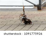 live cuttlefish on a fishing...   Shutterstock . vector #1091775926