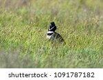 little bustard  tetrax tetrax ... | Shutterstock . vector #1091787182