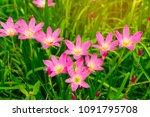 beautiful little pink rain lily ... | Shutterstock . vector #1091795708