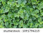 mint leaf or peppermint plant... | Shutterstock . vector #1091796215