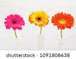three gerbera flowers in vase... | Shutterstock . vector #1091808638