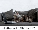 Stock photo side view of scottish straight cat with laptop on couch 1091855132