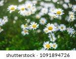 daisy bloom after raining.... | Shutterstock . vector #1091894726