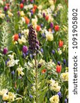 Small photo of Fritillaria persica and colorful flowers blooming in a garden