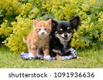 Stock photo a cute red tabby cat kitten and a chihuahua posing side by side in a flowery garden a close 1091936636