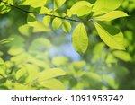 fresh green tree leaves | Shutterstock . vector #1091953742