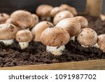 cultivation of brown... | Shutterstock . vector #1091987702
