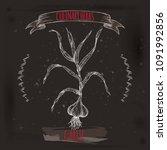garlic aka allium sativum hand... | Shutterstock .eps vector #1091992856