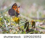 Small photo of Lycaena phlaeas, the small copper, American copper, or common copper, is a butterfly of the Lycaenids or gossamer-winged butterfly family.
