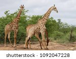 african giraffe fighting with... | Shutterstock . vector #1092047228