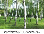beautiful birch trees with... | Shutterstock . vector #1092050762