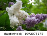 white lilac bush blooming in... | Shutterstock . vector #1092075176