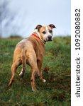 Small photo of american pit bull terrier dog standing outdoors looking back