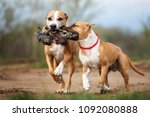 Stock photo two american staffordshire terrier dogs running together playing with a rope toy 1092080888