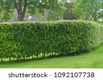 Hornbeam Hedge In Spring ...