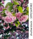 cherry blossom in germany   Shutterstock . vector #1092169382