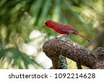 red cardinal is curious  | Shutterstock . vector #1092214628