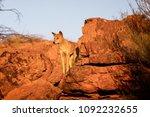 Australian Dingo Looking For A...