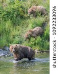 Small photo of Kodiak Bear Mother and two cubs