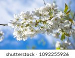 springtime blossom  twig with... | Shutterstock . vector #1092255926