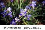 blue flower on the city... | Shutterstock . vector #1092258182