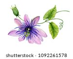 Beautiful Purple Passiflora ...