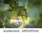 a california vineyard with...   Shutterstock . vector #1092295142