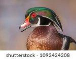 Closeup Of A Male Wood Duck ...