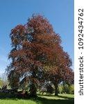 purple beech tree  fagus... | Shutterstock . vector #1092434762