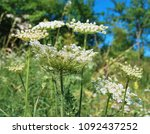 giant hogweed  plant of giant... | Shutterstock . vector #1092437252