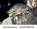 turtle on stones serious look | Shutterstock . vector #1092458078