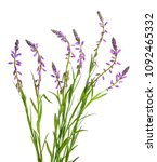 polygala  commonly known as... | Shutterstock . vector #1092465332