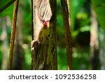 wild banana  scientific name  ... | Shutterstock . vector #1092536258