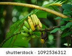 Small photo of Wild Banana (Scientific name : Musa acuminate Colla.)