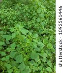 Small photo of Acalypha indica (Indian Acalypha, Indian Mercury, Indian Copperleaf, Indian Nettle, Three-seeded Mercur similar to Catnip) field.