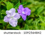 Small photo of Brunfelsia uniflora (Kiss me quick, Manac, Morning Noon and Night, Yesterday-today-tomorrow) ; dark purple 5 petals with wrinkles. The color is gradually weakened until white flowers before it wilt.