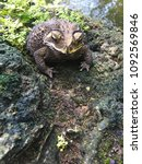 asian common toad  common toad... | Shutterstock . vector #1092569846