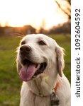 golden retriever on sunset... | Shutterstock . vector #1092604592