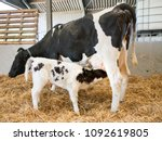 Mother Cow And Drinking Newborn ...